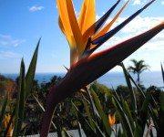 Papageienblume Madeira