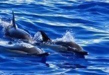 Delfine beim Whalewatching auf Madeira