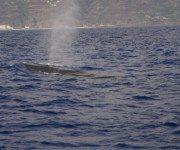 Wal vor Madeira